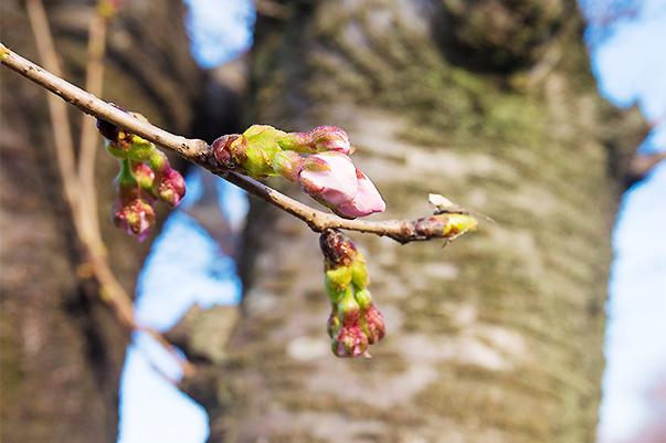 茨城県取手市ふれあい通り桜つぼみ状況