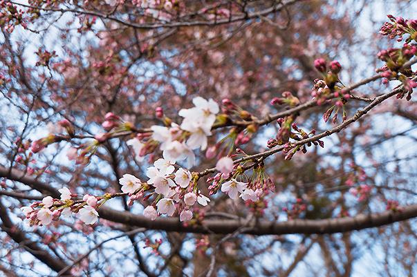 2017年取手市 老人福祉センターまだ桜は咲いてません。