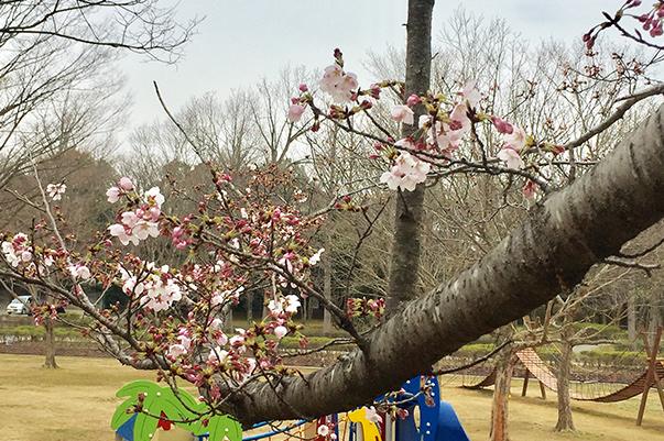 花見をやっているおじさん達もいました。戸頭公園桜開花情報