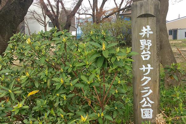 井野台さくら公園桜開花情報