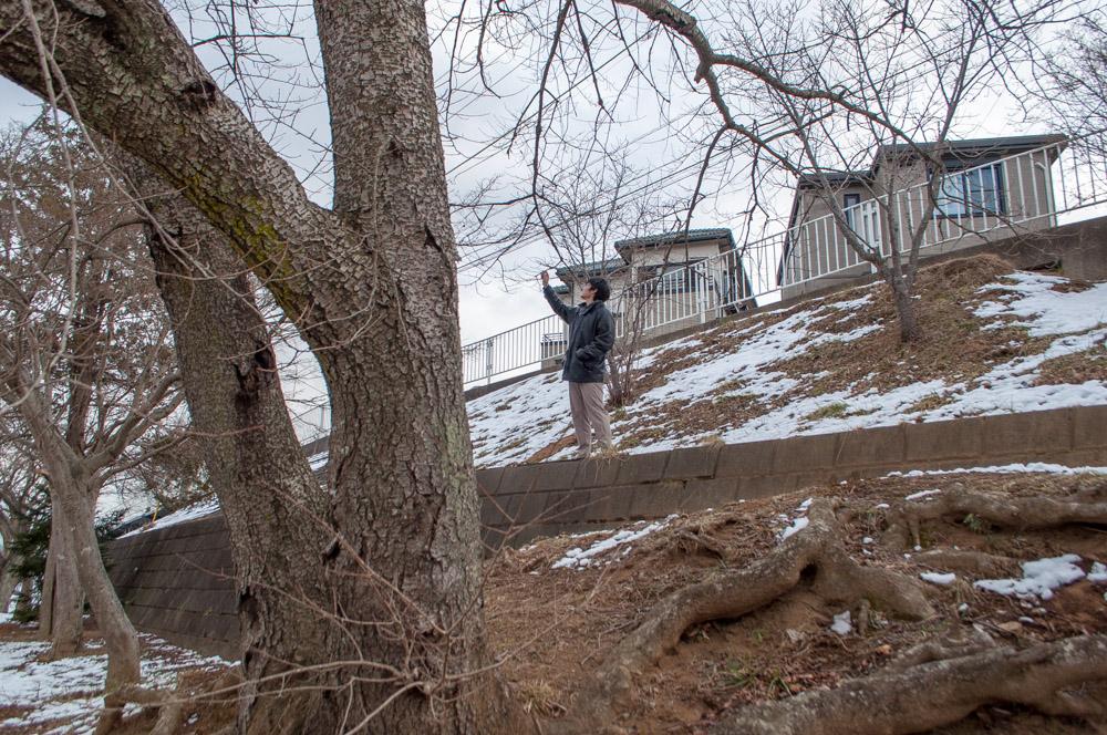 茨城県取手市新取手グリーンベルトの下公園で桜のつぼみチェックするsuryu-君